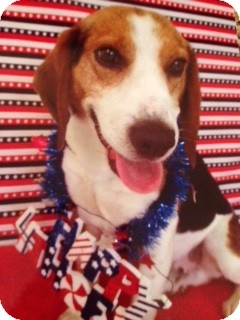Beagle Mix Dog for adoption in Rochester Hills, Michigan - Moses