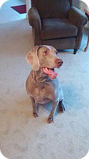 Weimaraner Dog for adoption in Elyria, Ohio - Hannah