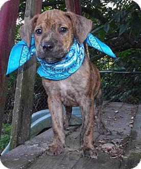 Boxer/Labrador Retriever Mix Puppy for adoption in Brattleboro, Vermont - Ricky