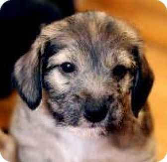 Wirehaired Fox Terrier Mix Puppy for adoption in Minneapolis, Minnesota - Dahlia