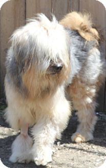 Bearded Collie Mix Dog for adoption in Woonsocket, Rhode Island - Bentley