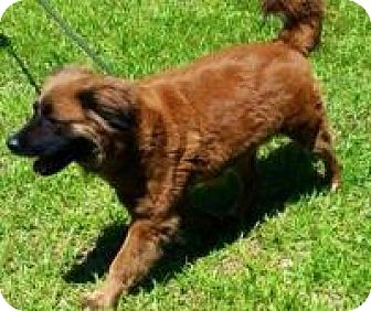 Retriever (Unknown Type)/Shepherd (Unknown Type) Mix Dog for adoption in Briarcliff Manor, New York - Maddie