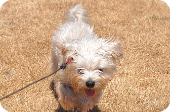 Terrier (Unknown Type, Small)/Maltese Mix Dog for adoption in Tumwater, Washington - Care Bear