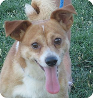 Pomeranian/Terrier (Unknown Type, Small) Mix Dog for adoption in Turlock, California - Rex