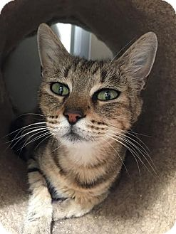 Domestic Shorthair Cat for adoption in Westminster, California - Jaqualine