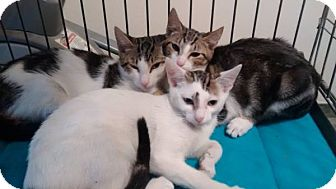 Domestic Shorthair Cat for adoption in Port Richey, Florida - Kukula,Fran,Oliver