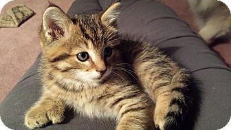 Hemingway/Polydactyl Kitten for adoption in Troy, Ohio - Betty