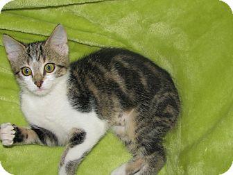 Domestic Shorthair Kitten for adoption in Marietta, Georgia - Lily
