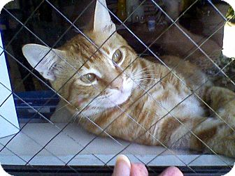 Domestic Shorthair Cat for adoption in Cerritos, California - Bentley