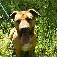 Shepherd (Unknown Type)/Labrador Retriever Mix Dog for adoption in Pt. Richmond, California - MOLLY