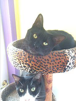 Domestic Shorthair Cat for adoption in Richboro, Pennsylvania - Kerry Washington