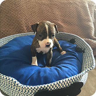 Labrador Retriever/Boxer Mix Puppy for adoption in Sterling Heights, Michigan - Vf
