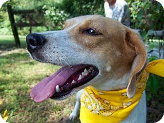 Foxhound Mix Dog for adoption in Cabot, Arkansas - Sugar