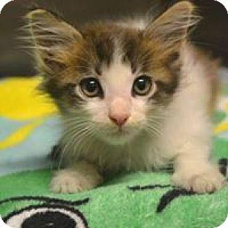 Domestic Mediumhair Kitten for adoption in Beaumont, Texas - Cotton