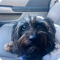 Adopt A Pet :: Storm - Miami, FL