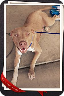 Pit Bull Terrier Mix Dog for adoption in Apache Junction, Arizona - Abby