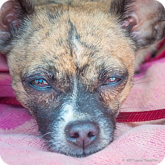 Chihuahua/Terrier (Unknown Type, Small) Mix Dog for adoption in San Marcos, California - Gabby