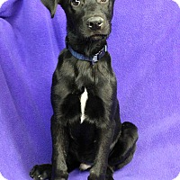 Adopt A Pet :: Caleb - Westminster, CO