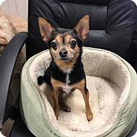 Adopt A Pet :: Lil Bud - Little Rock, AR