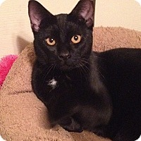 Adopt A Pet :: Sir Purr - Tampa, FL