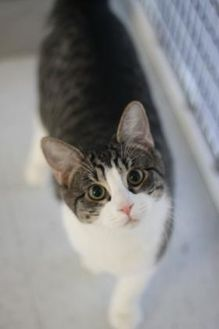 Domestic Shorthair/Domestic Shorthair Mix Cat for adoption in Covington, Louisiana - Jerry