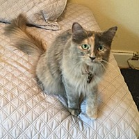 Maine Coon Cat for adoption in San Antonio, Texas - Asuna