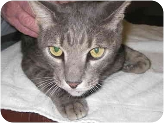 Domestic Shorthair Cat for adoption in Houston, Texas - Greyson