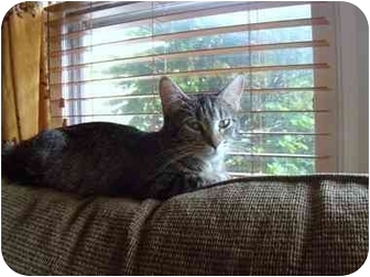 American Shorthair Cat for adoption in Naperville, Illinois - Mimi IS ADOPTED
