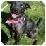 Photo 1 - Catahoula Leopard Dog Mix Dog for adoption in Auburn, California - Ben