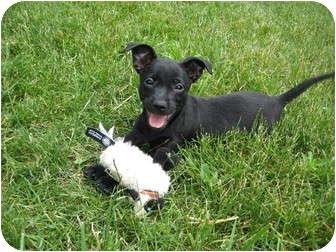 Scottie, Scottish Terrier/Schnauzer (Miniature) Mix Puppy for adoption in Worcester, Massachusetts - puppy Louie