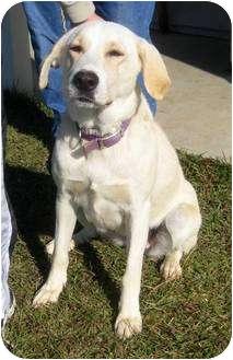 Labrador Retriever Mix Dog for adoption in Lebanon, Maine - Maxine