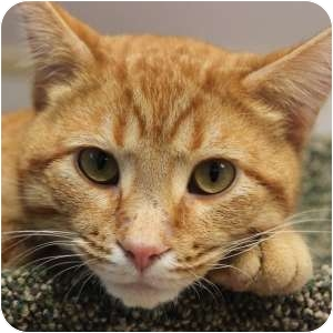 Domestic Shorthair Cat for adoption in Naperville, Illinois - Sammy