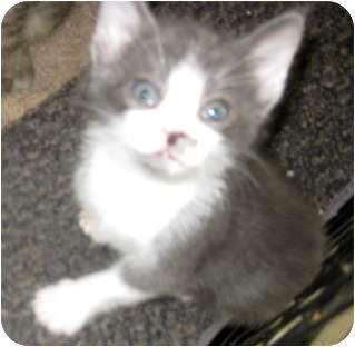 Russian Blue Kitten for adoption in Dallas, Texas - Dusty