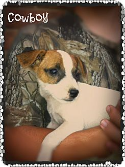 Rat Terrier/Feist Mix Puppy for adoption in Cranford, New Jersey - Cowboy