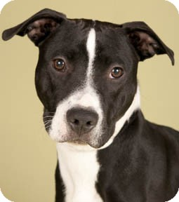 American Pit Bull Terrier Mix Dog for adoption in Chicago, Illinois - Cheesecake