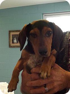 Beagle/Dachshund Mix Puppy for adoption in Franklin, North Carolina - Max