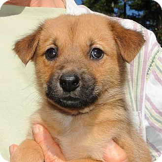 Shepherd (Unknown Type)/Golden Retriever Mix Puppy for adoption in Groton, Massachusetts - Spunky