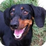 Dachshund Dog for adoption in Houston, Texas - Tripp Truman