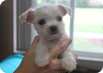 Chihuahua/Cairn Terrier Mix Puppy for adoption in Loxahatchee, Florida - STITCH