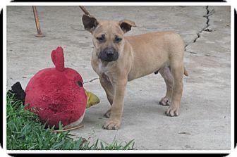 Boxer/Labrador Retriever Mix Puppy for adoption in Santa Monica, California - Kai
