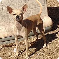 Adopt A Pet :: Blondie - San Antonio, TX
