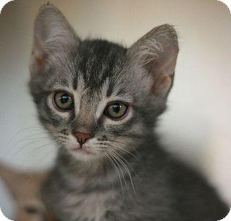 Domestic Shorthair Cat for adoption in Canoga Park, California - Triscuit