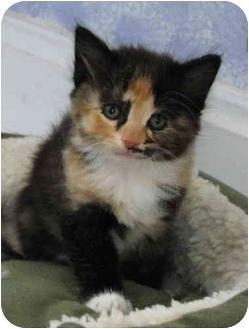 Domestic Mediumhair Kitten for adoption in Cincinnati, Ohio - Heather