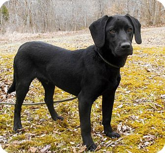 Beagle/Labrador Retriever Mix Puppy for adoption in Salem, New Hampshire - PUPPY MILO