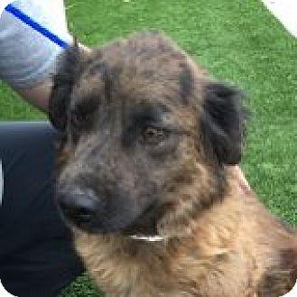 Retriever (Unknown Type)/Australian Shepherd Mix Dog for adoption in Las Vegas, Nevada - Bellamy