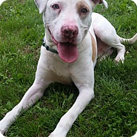 Adopt A Pet :: Scout-very athletic! - Hedgesville, WV
