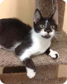 Domestic Shorthair Kitten for adoption in San Leandro, California - Harley