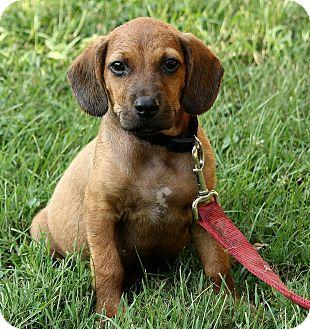 Beagle/Labrador Retriever Mix Puppy for adoption in Beacon, New York - Noah