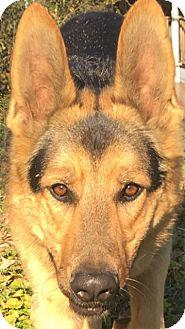 German Shepherd Dog Dog for adoption in Roswell, Georgia - Tixta (Guest)