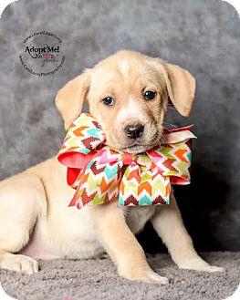 Labrador Retriever Mix Puppy for adoption in Cincinnati, Ohio - Shenzi